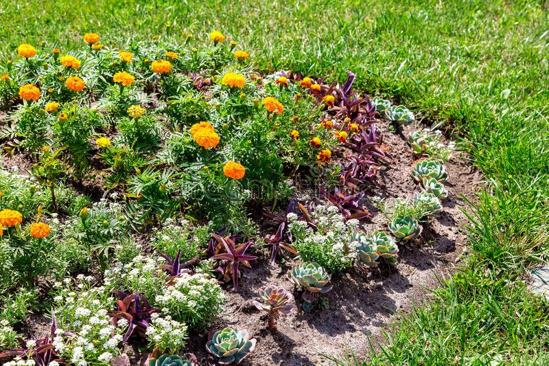 Flower bed with orange marigold. royalty free stock photo