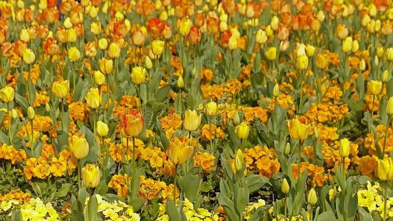Flower bed with orange and yellow tulips and other flowers stock photo