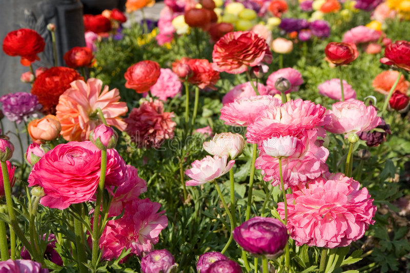 Download Flower-bed with poppies stock photo. Image of full, bloom - 505148