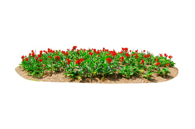 Flower bed of Red Canna Lily canna x generalis flower isolated on white background. royalty free stock photos