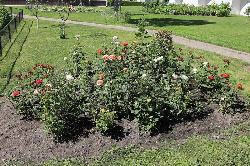 Flower bed with red and white roses stock photography