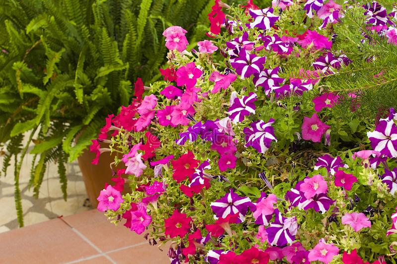 Flower bed. Summer collection of flowers - flower beds of petunias stock photos