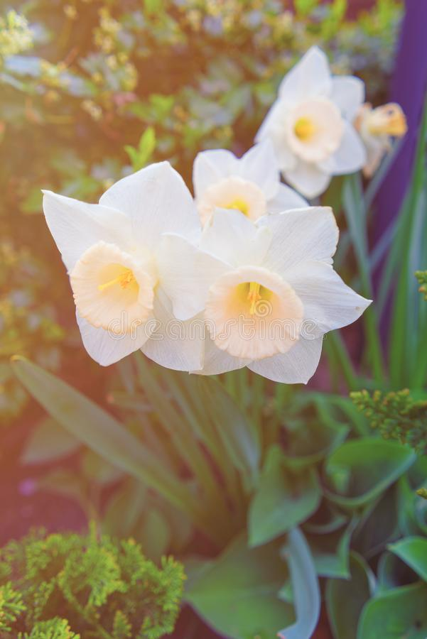 Flower bed with White Narcissus in Philadelphia City Center spring. Flower bed with White Narcissus in Philadelphia City Center, Pennsylvania, USA. Sunlight stock photography