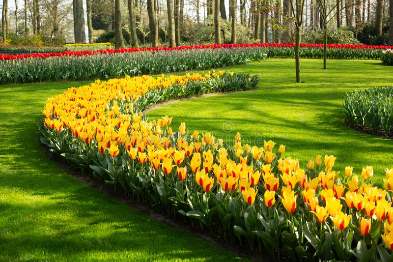 Flower bed of yellow beautiful tulips. Green lawn. Beautiful spring tulips flowers in park. Sunny day royalty free stock photos