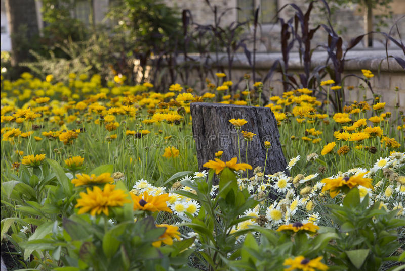 Flower Bed of yellow flowers and Daisies with tree stump royalty free stock images