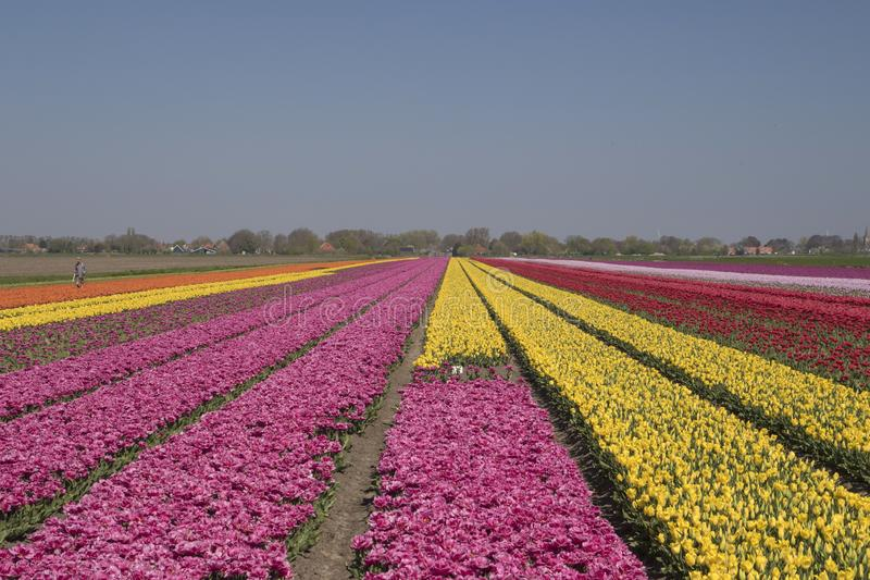Dutch tulip fields landscape with numerous contrasting tulips stock photos