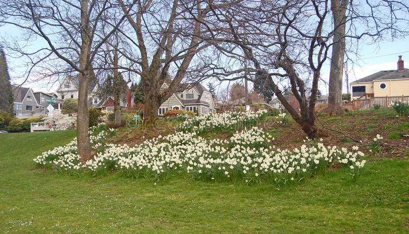 Flower beds of white Daffodils at Greenlake Park. White Daffodils at Seattle's Greenlake Park in eary spring stock image