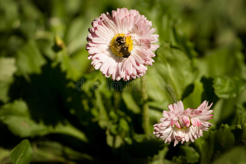 Download Flower and bee stock photo. Image of pink, sunny, season - 16275340