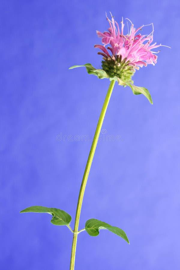 Flower of bee balm (Monarda didyma) stock images