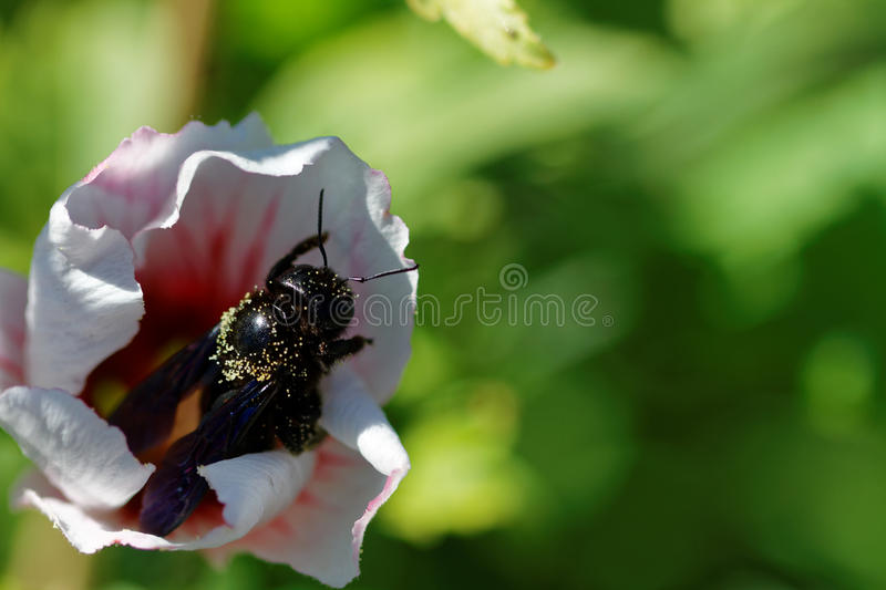 Flower with bee. Bee gathering polen from a white flower royalty free stock photo