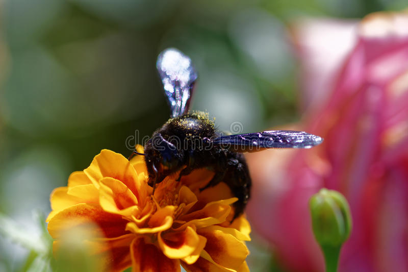 Flower with bee. Bee gathering polen from a white flower stock photography