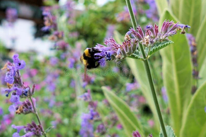 Flower, Bee, Honey Bee, Purple royalty free stock photos