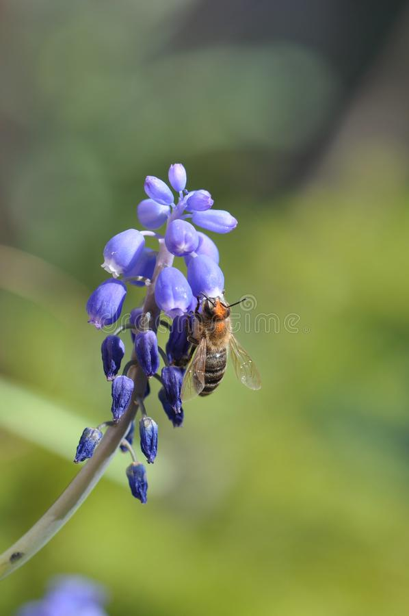 Flower with bee. Macro detail of blue muscari spring flowers with bee collecting pollen. Grape hyacinth royalty free stock image