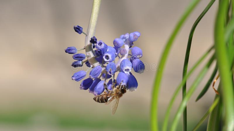 Flower with bee. Macro detail of blue muscari spring flowers with bee collecting pollen. Grape hyacinth stock photo