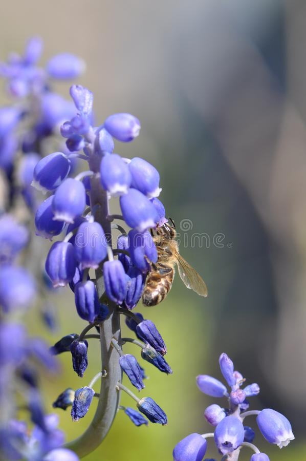 Flower with bee. Macro detail of blue muscari spring flowers with bee collecting pollen. Grape hyacinth royalty free stock photography