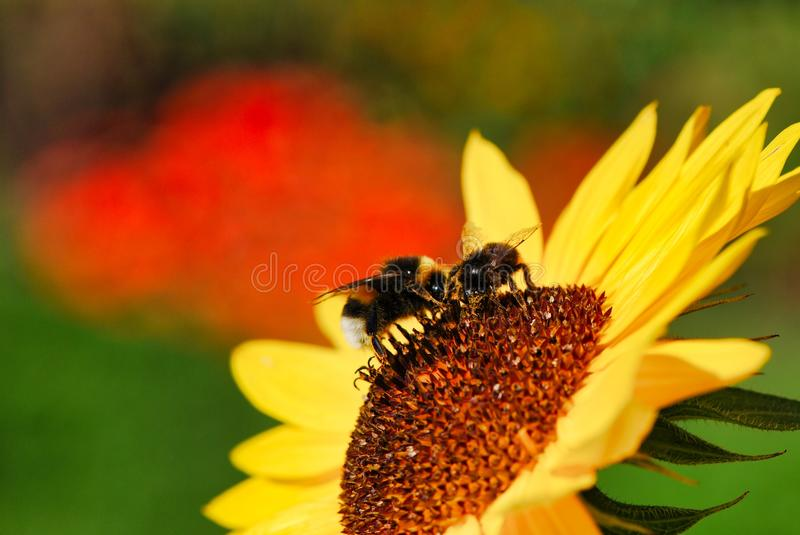 Flower, bee, yellow, honey bee, nectar, pollen, macro photography. Flower is bee, nectar and insect. That marvel has yellow, pollen and close up and that beauty royalty free stock photos