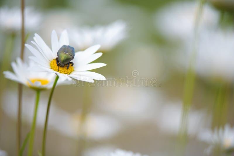 Flower Beetle Potosia cuprea on oxeye daisy. Feeding flower pollen royalty free stock images