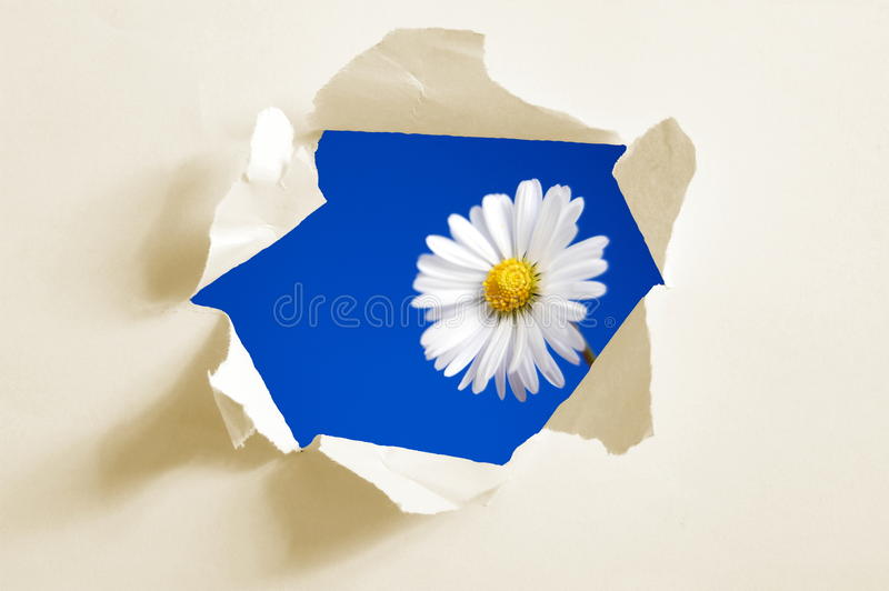Flower behind hole in paper royalty free stock image