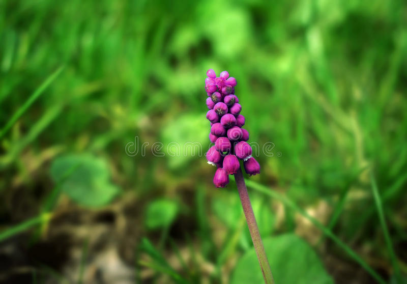 Flower bell. summerl pink flower on a blurred background. royalty free stock photo
