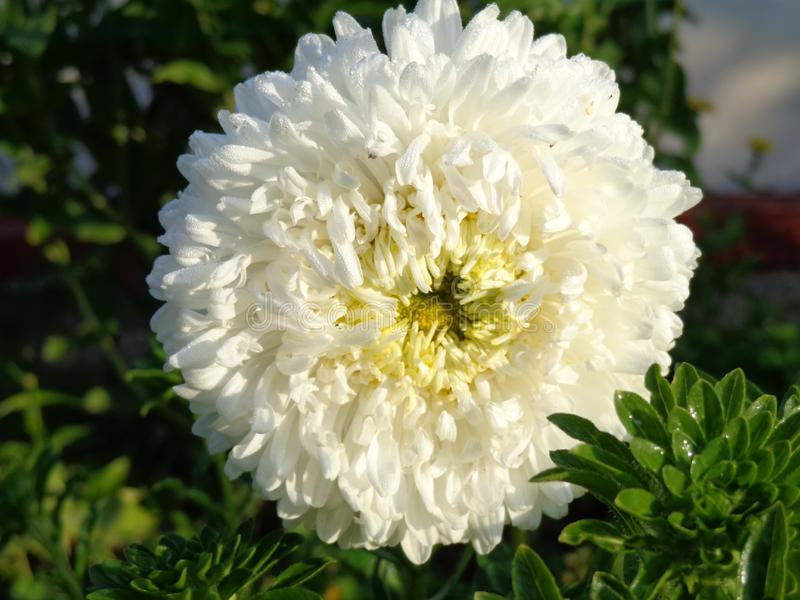 Flower of big white aster on the sun. stock image