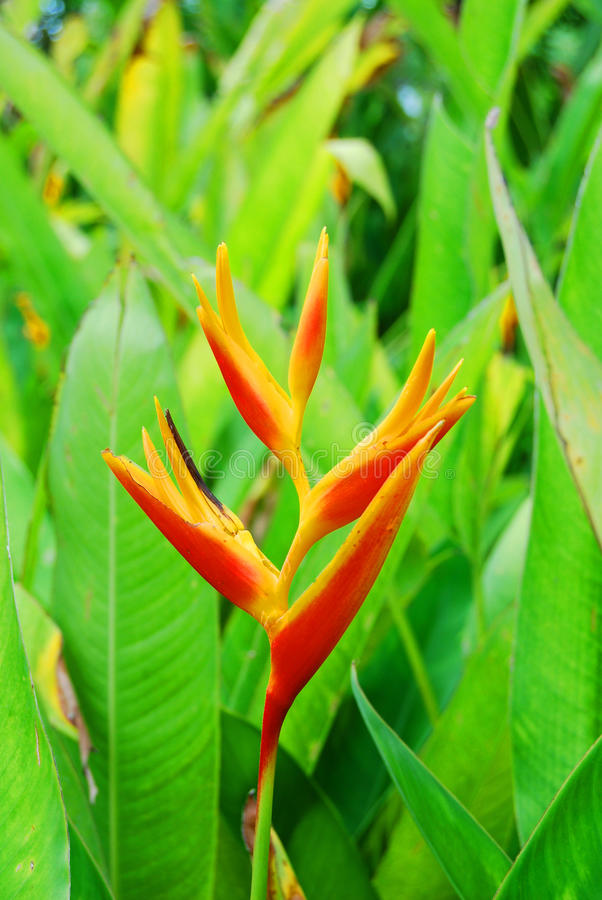 Flower Bird of paradise royalty free stock photography