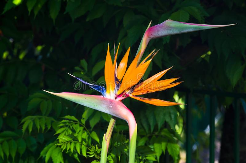 Flower bird of paradise or bird flower. Species of angiosperm herbaceous, rhizomatous native to South Africa royalty free stock image