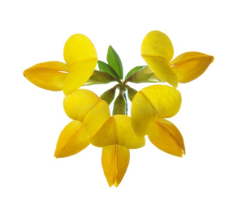 Flower of Bird`s-Foot Trefoil Lotus Corniculatus isolated on white background.  royalty free stock photos