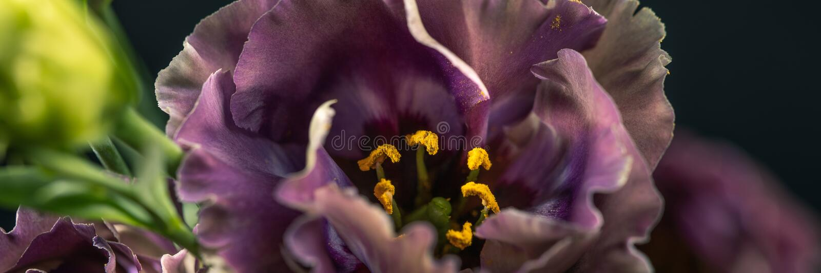 Flower on a black background. Rosanne Black Pearl. Close-up stock photography