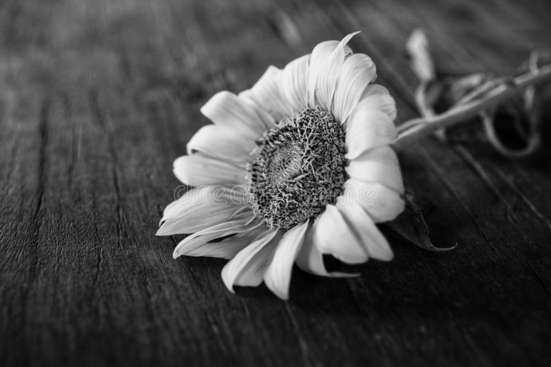 Flower on black background. Sunflower in black and white backdrop on rustic table. Copy space for text or design royalty free stock photography