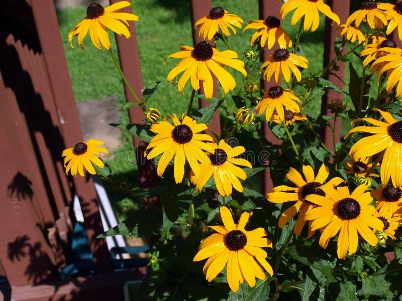 Flower - black eyed susan stock image