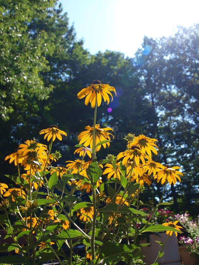 Flower - black eyed susan stock images