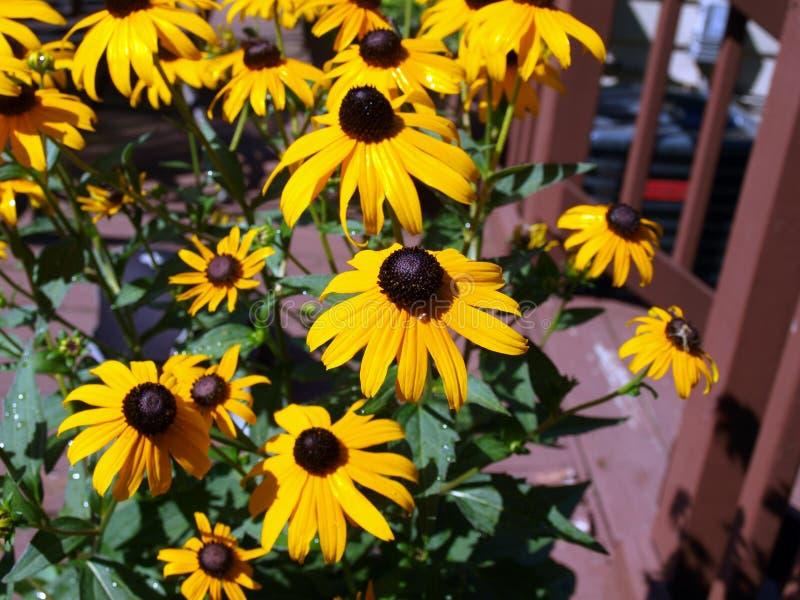 Flower - black eyed susan royalty free stock images