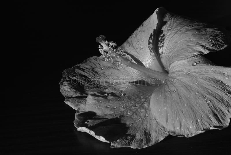 Flower. A black and white shot of a hibiscus flower royalty free stock photo