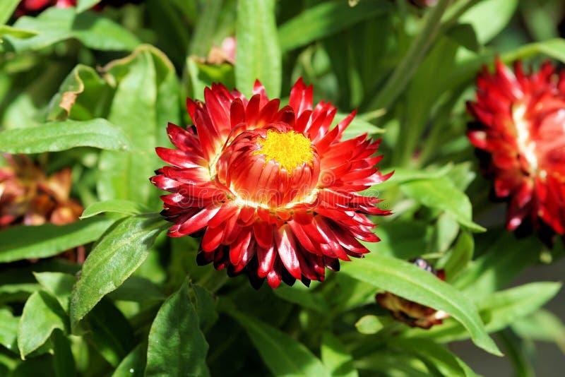 Flower, Blanket Flowers, Plant, Flora Free Public Domain Cc0 Image