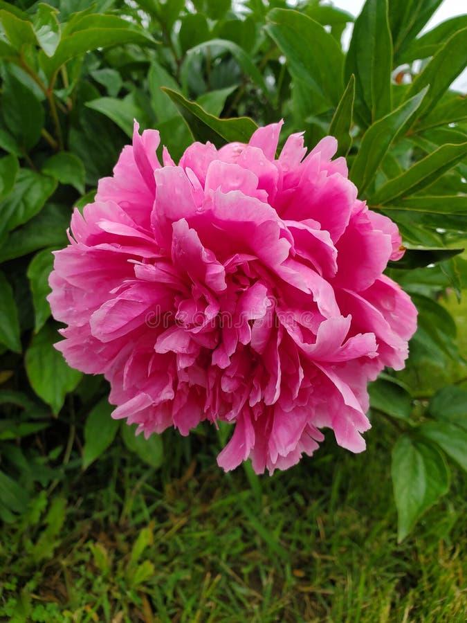 Flower in bloom. Bush, grass, petals stock photo