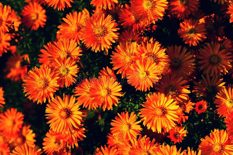 Orange flowers bloom and fade background. Nature backgrounds royalty free stock images