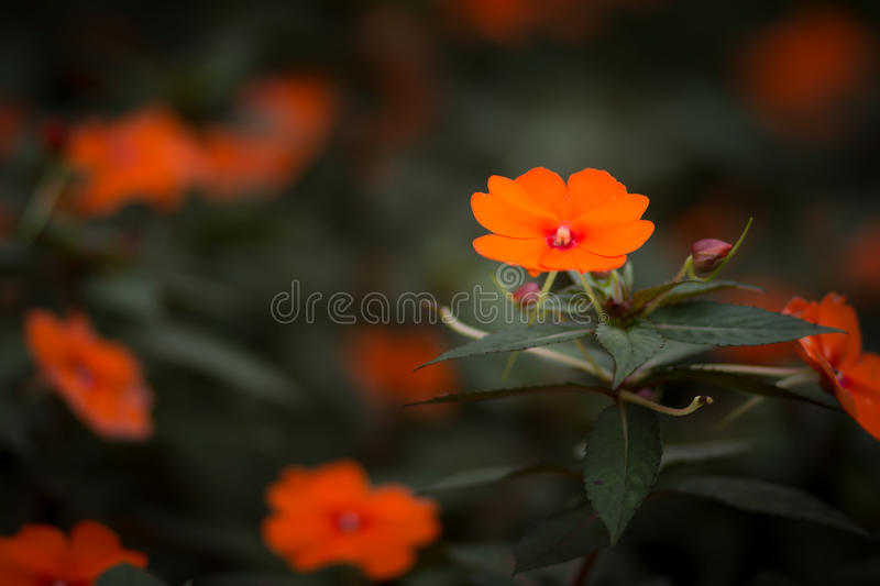 Flower. Bloom flora color thailand chiangrai pink yellow orange stock photos