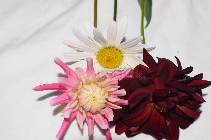 3 Flower blooms of daisy and dahlias royalty free stock image