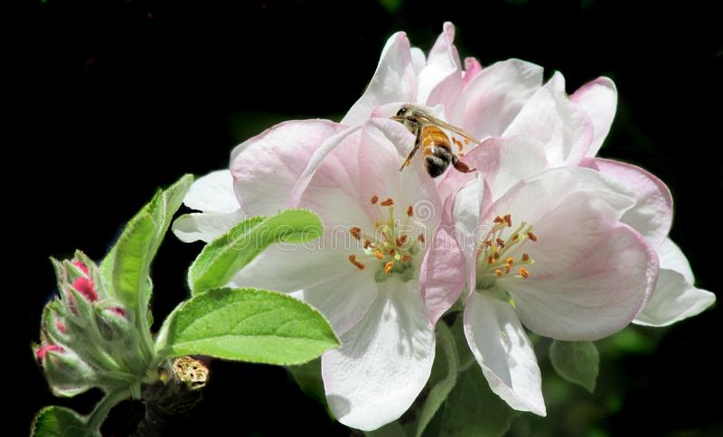 Flower, Blossom, Insect, Flora royalty free stock image