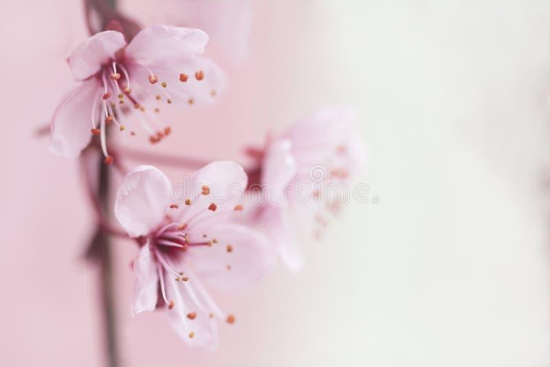 Flower, Blossom, Pink, Cherry Blossom royalty free stock photo