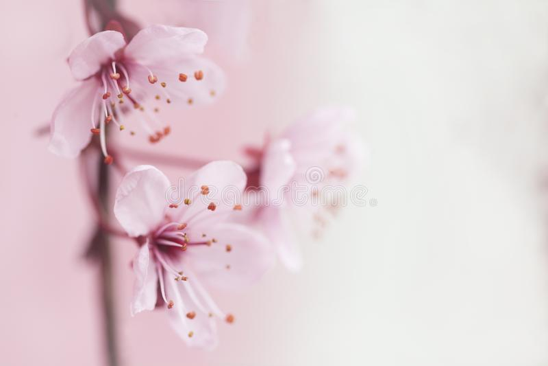 Flower, Blossom, Pink, Cherry Blossom Free Public Domain Cc0 Image