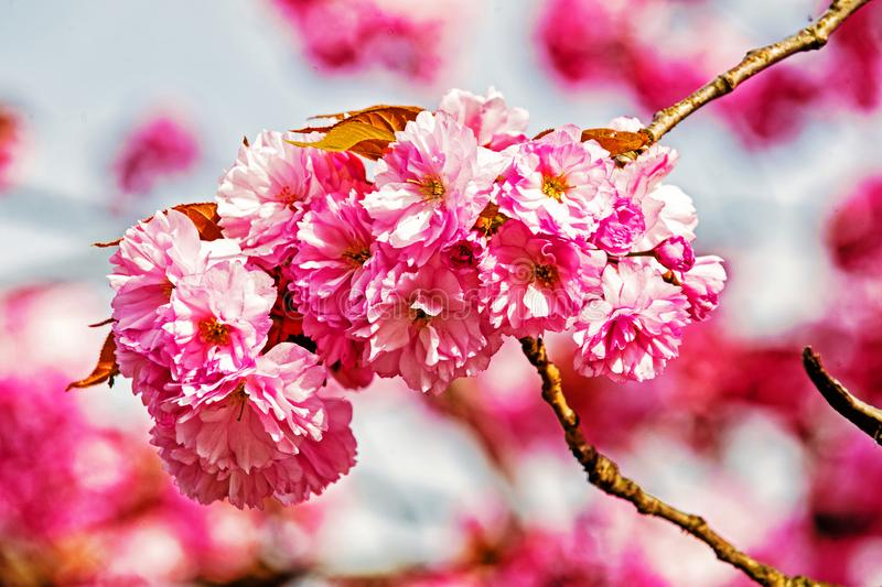 Flower blossom of pink cherry sakura tree on sunny day. On natural background. Beauty of nature. Spring, youth, growth concept stock photography