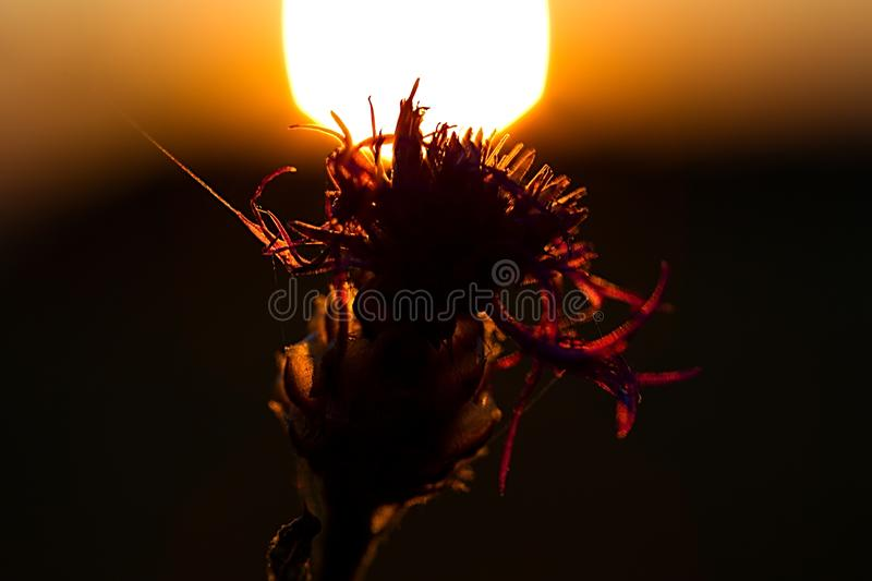 Flower blossom silhouette royalty free stock images
