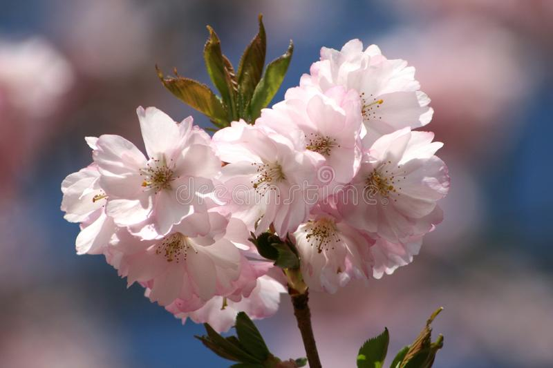 Flower, Blossom, White, Pink royalty free stock image