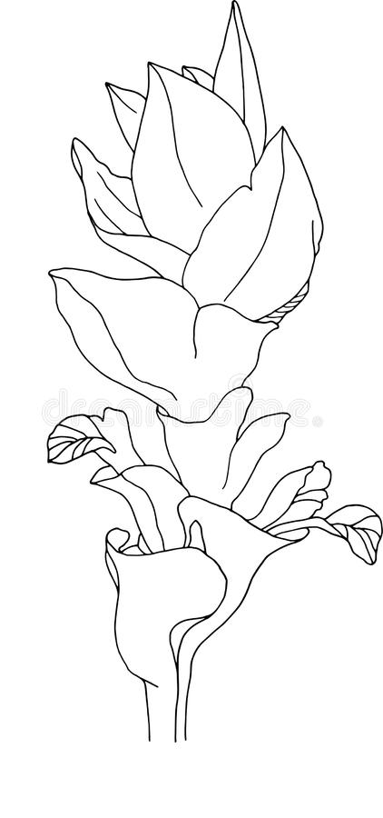 Flower of the blossomed turmeric. Black contour. Sketch of plants. Botany. Drawing. royalty free stock photography