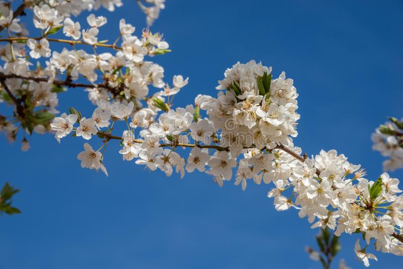 Flower blossoms of plum tree in the field. Flower blossoms of plum tree in field royalty free stock images