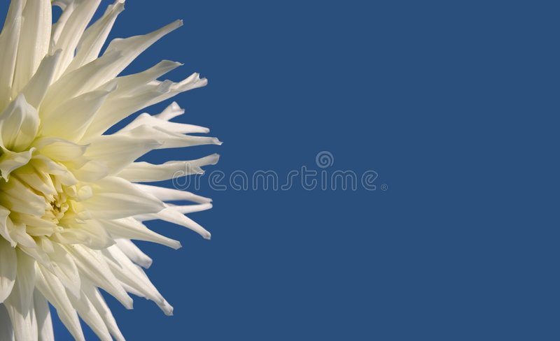 Flower on blue background royalty free stock image