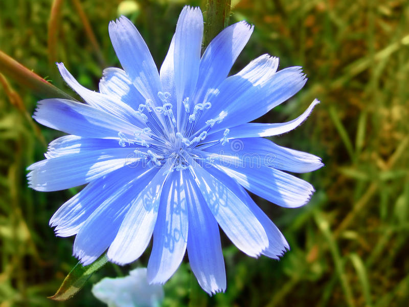 Flower of blue chicory. Close up of beautiful blue chicory flower stock photo