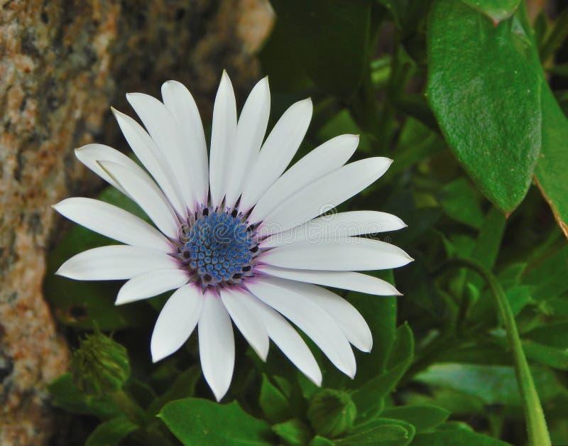 Flower blue eyed daisy or Cape.Osteospermum. Arctotis stoechadifolia stock photography