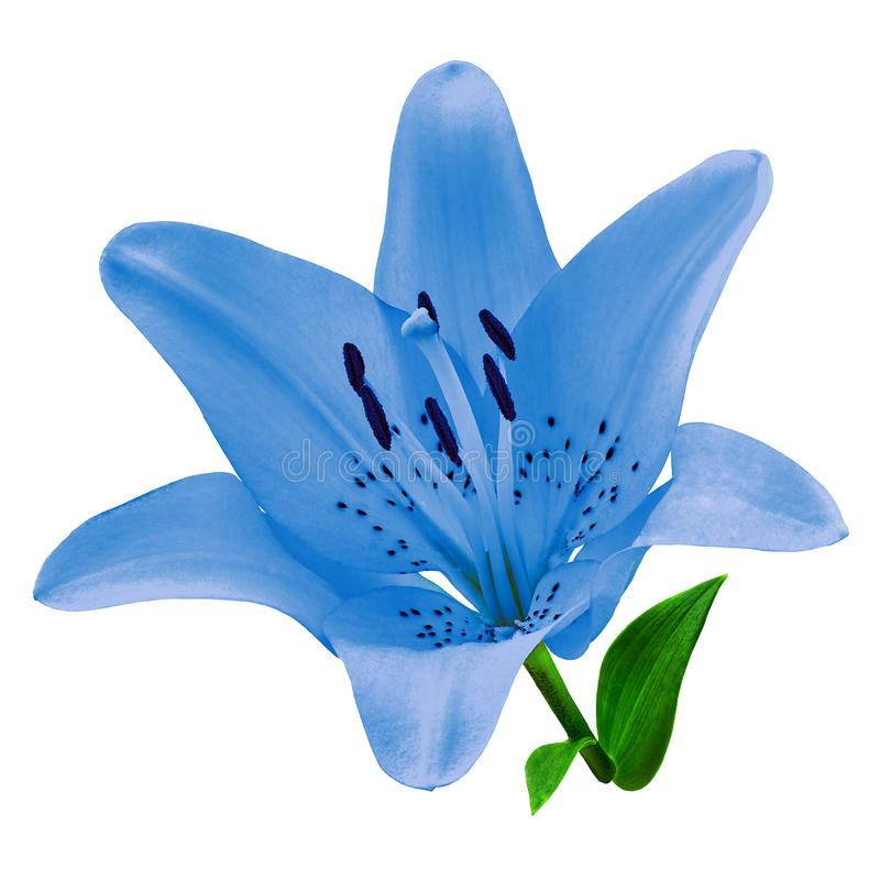 Free Flower Blue Lily Isolated On White Background. Close-up. Royalty Free Stock Photo - 124239365